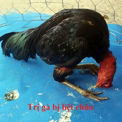 trị gà bị liệt chân