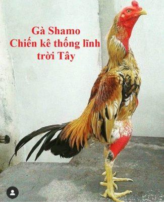 Gà Shamo