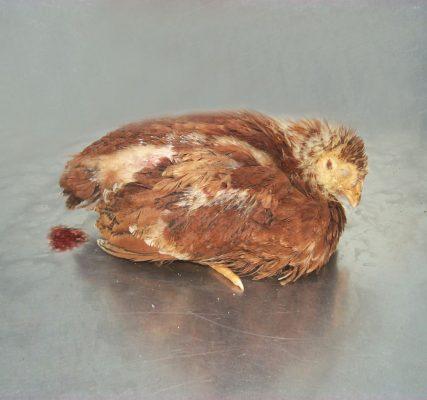 bệnh cầu trùng ở gà