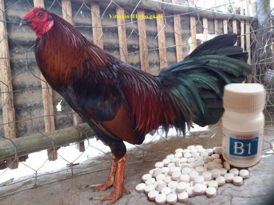 Vitamin b1 cho gà đá