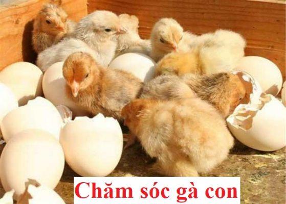 chăm sóc gà con