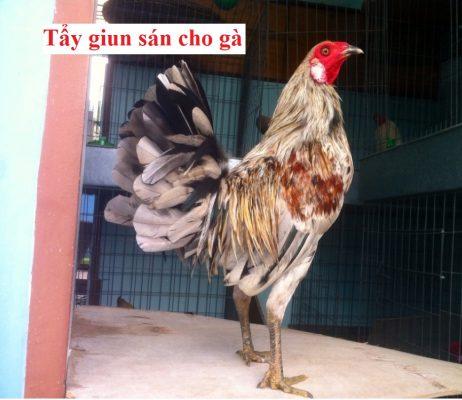 tẩy giun sán cho gà
