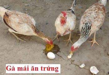 gà ăn trứng